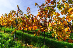 Colorful autumnal  vineyards of Alsace, France Royalty Free Stock Photography