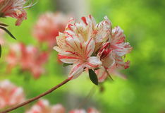 Colorful Azalea Flower Stock Images