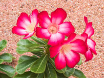 Colorful azalea flowers. Desert Rose Stock Photos