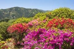 Colorful azalea flowers Stock Image