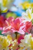 Colorful azalea flowers Royalty Free Stock Image