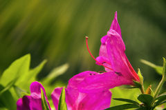 Colorful azaleas Stock Photo