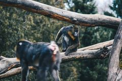Colorful Baboon in the forest royalty free stock photo