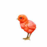 Colorful baby chicken. Colorful baby chicken isolated with white background Stock Images
