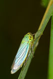 Colorful baby grasshopper Royalty Free Stock Photo