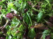 Colorful Baby Lettuce Mix. Colorful Freshly picked organic spring baby lettuce for a farm CSA Stock Images