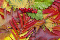 Colorful background of autumn leaves Royalty Free Stock Images