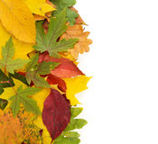 Colorful background of autumn leaves isolated Stock Images