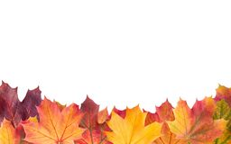 Colorful background of autumn maple tree leaves background close royalty free stock image