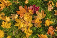 Colorful background of autumn maple tree leaves and green grass background close up. stock photography