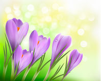 Colorful background with crocus.  Vector Royalty Free Stock Images
