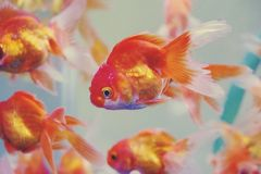 Colorful background with Goldfishes in aquarium tank royalty free stock photos