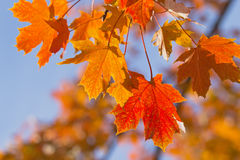 Colorful background of maple leaves. Stock Image