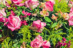 Colorful background of pink roses and green plants.  Royalty Free Stock Photography
