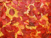 Colorful background of red autumn leaves Stock Images