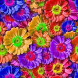Colorful background with Zinnia flower.Seamless pattern. Stock Photography