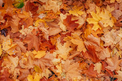 Colorful backround image of fallen autumn leaves. Royalty Free Stock Photo
