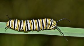 Monarch caterpillar on a blade of grass. A colorful banded Monarch caterpillar Danaus plexippus makes its way along a blade of thick grass in Houston, TX royalty free stock photo