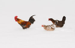 Free Colorful Bantam Rooster Leading His Ladies Through Deep Snow Stock Photography - 71701112