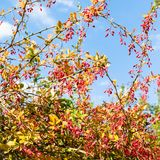 Colorful barberry with ripe fruits in autumn day Royalty Free Stock Photo