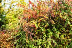 Colorful barberry shrub in autumn Stock Photo