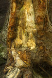 Colorful bark base of tree, Sugar River, New Hampshire, vertical Royalty Free Stock Photo