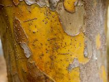 Colorful Bark from the Chinese quince tree Pseudocydonia sinens stock photo