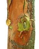 Closeup of old colorful arbutus tree. Colorful bark of old arbutus tree in fall in detail Stock Photo