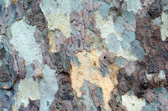 Colorful bark of sycamore tree Stock Image