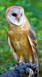 Colorful barn owl Stock Photos