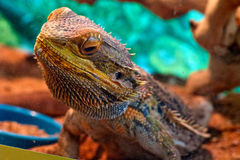 Colorful bearded dragon behind glass Stock Images