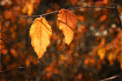 Colorful beautiful autumn leaves on tree branch with texture overlay Royalty Free Stock Photography