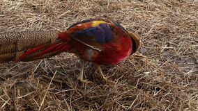 Colorful beautiful bird - pheasant, captive behind bars in zoo. golden pheasant or Chinese pheasant. slow motion. Colorful beautiful bird - pheasant, captive stock footage