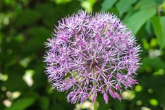 Colorful and beautiful blossom of Allium cristophii royalty free stock photos