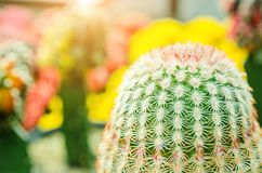 Selective focus close up on Golden barrel cactus. Echinocactus grusonii cluster. well known species of cactus, endemic to east-central Mexico widely cultivated royalty free stock photos