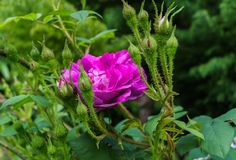 Colorful, beautiful, delicate flower rose in the garden stock image