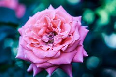 Colorful, beautiful, delicate rose stock images