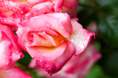 Colorful, beautiful, delicate rose petals and water drops Stock Photography