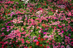 Dianthus. Colorful beautiful dianthus Flower background in the garden Royalty Free Stock Photo