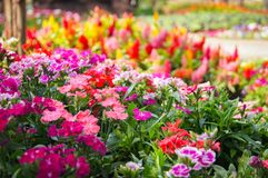 Dianthus. Colorful beautiful dianthus Flower background in the garden Stock Photos