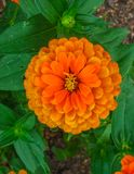 Colorful beautiful flowers of zinnia in the city park stock photos