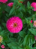Colorful beautiful flowers of zinnia in the city park royalty free stock images