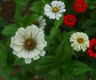Colorful beautiful flowers of zinnia in the city park royalty free stock photos