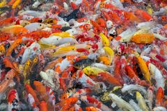 Colorful of beautiful koi fish. Colorful of beautiful koi fish in the pond Royalty Free Stock Image