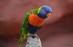 Colorful and beautiful Lorikeet. Beautiful and colorful lorikeet, wildlife in Australia stock photo
