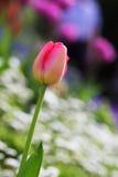 Colorful beautiful nature tulips Stock Photo
