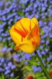 Colorful beautiful nature tulips Stock Image