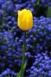 Colorful beautiful nature tulips Stock Photos
