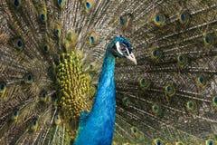 Colorful beautiful peacock. Closeup image of bird stock photos
