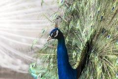 Colorful beautiful peacock. Closeup image royalty free stock photos